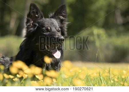 Dog Border Collie headshot lying yellow flowers