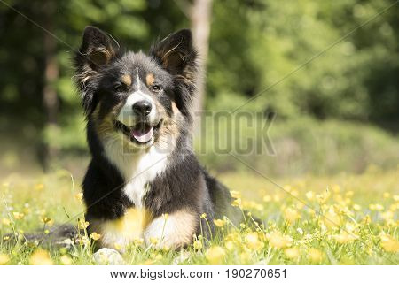 Dog Border Collie lying in grass, looking in camera
