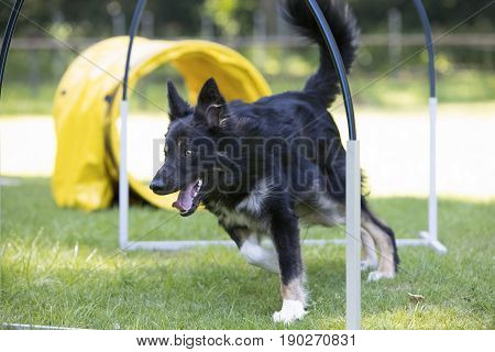 Dog Border Collie running through hoopers agility trianing