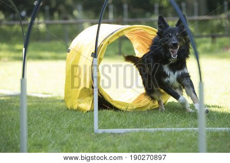 Dog Border Collie running agility and hooper training