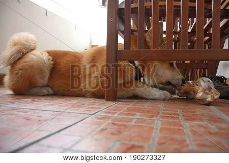 Akita Inu puppy trying to pull out the bone