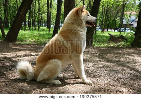 Beautiful Akita inu female posing in public park