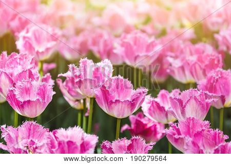 Colorful spring pink tulip flowers with sunlight as a background.