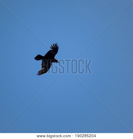 Black raven with open wings hovers in a blue sky
