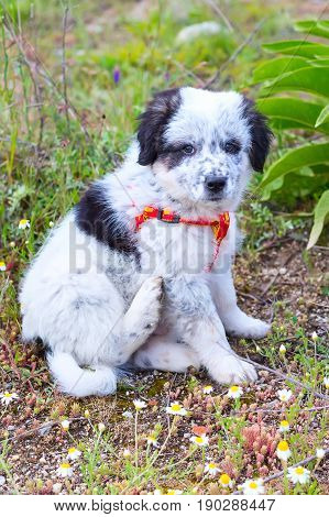 Cute white and black bulgarian sheep dog puppy sitting in the grass closeup