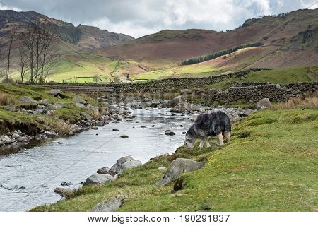 Landscape of Langdale Fell in the Lake District National Park, Cumbria, England with a native Herdwick sheep grazing by a stream on a windy but sunny Spring day.