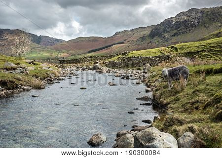 Langdale Fell: Landscape of Langdale Fell in the Lake District National Park, Cumbria, England with a native Herdwick sheep grazing by a stream on a windy but sunny Spring day.