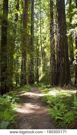 Natural trail leading toward beautiful redwood grove in northern California nature preserve.