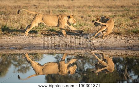 Lions in the Savuti area of Botswana playing near a natural water pan