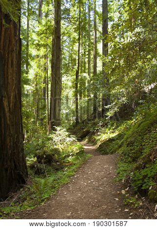 Secluded walking trail inside northern California redwood tree preserve.