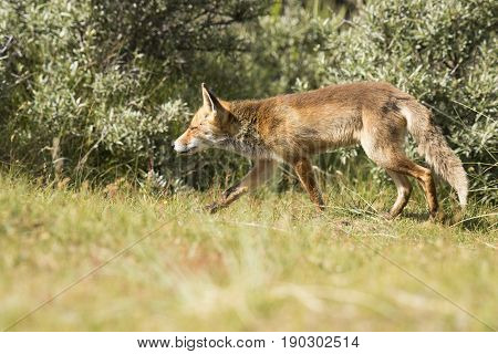 Red fox on the hunt for a prey