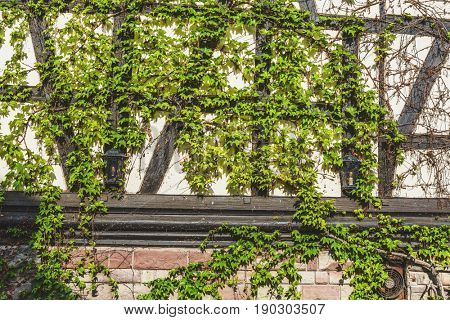 Fresh green ivy growing on the old exterior wall of a half-timbered house with a brick and plaster facade