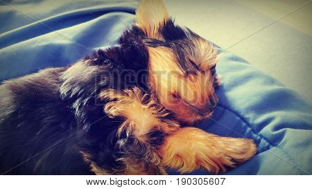 A cute little Yorkshire terrier puppy is asleep on a bed.