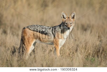 Black Backed Jackal adult in the Savuti area of the Chobe National Park in Botswana