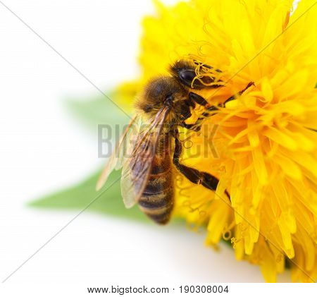 Honeybee and yellow flower head isolated on a white background