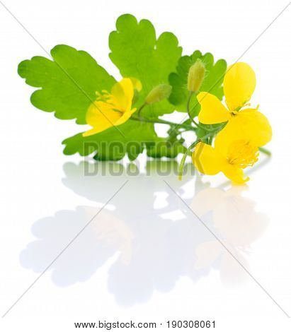 Yellow celandine flower isolated on white background.