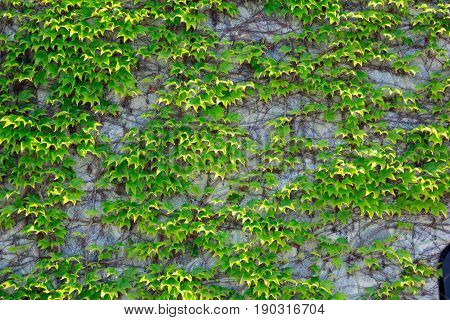 Green leaves of the grapes are woven along the wall