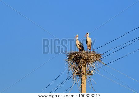 A couple of White Storks sit on a nest made on a utility pole