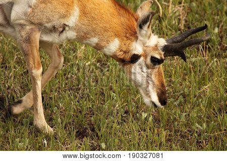 A male Pronghorn Antelope leaning down to look for food in Yellowstone National Park.