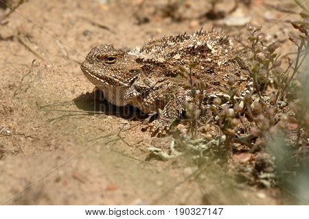 A Horned Toad peeking out from desert scrub.