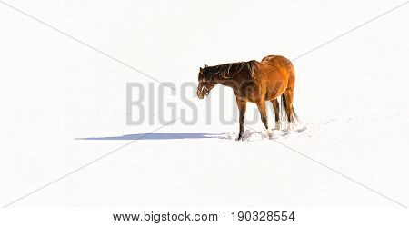 Horse grazing in a field after a snow storm.