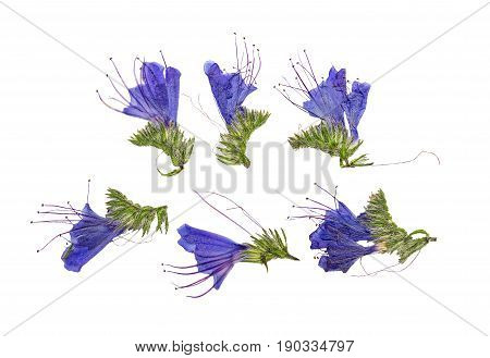 Pressed and dried flowers echium vulgare isolated on white background. For use in scrapbooking floristry (oshibana) or herbarium.