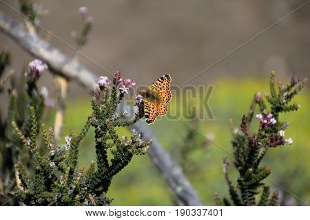 Napaea or Mountain Fritillary, boloria napaea, butterfly, adult, Torres Del Paine National Park, Patagonia Chile