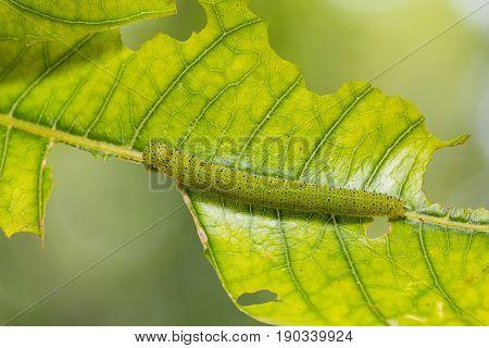 Chocolate Albatross (appias Lyncida) Caterpillar