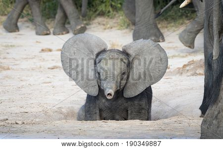 Young baby African Elephant with ears out and trunk up Savuti area of Chobe National Park in Botswana