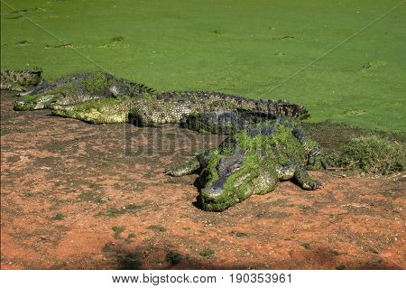Saltwater Crocodile at a muddy Riverbank in Northern Territory - Australia