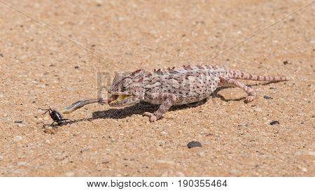 Desert adapted Namaqua Chameleon (Chamaeleo namaquensis) in the Dorob National Park near Swakopmund Namibia catching a Tok Tokkie Beetle
