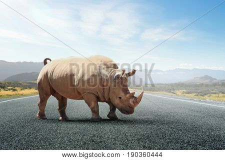 Rhino on asphalt road
