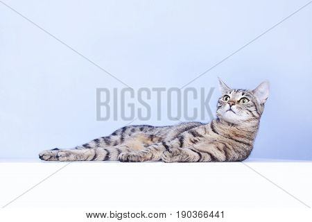 Tabby Cat Lies On The Table