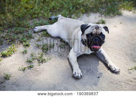 Dog Breeds A Pug For A Walk.