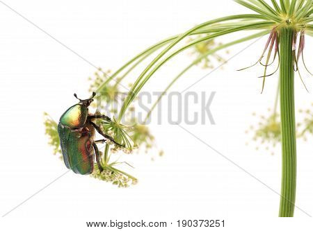 Rose chafer (Cetonia aurata) Beetle on flowers of carrots