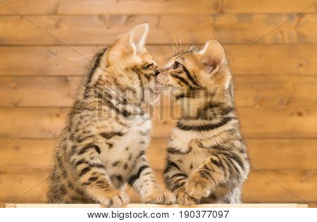 Two kittens sniff each other against the background of a wooden wall