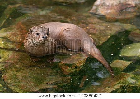 European Otter (Lutra lutra) , animal in nature