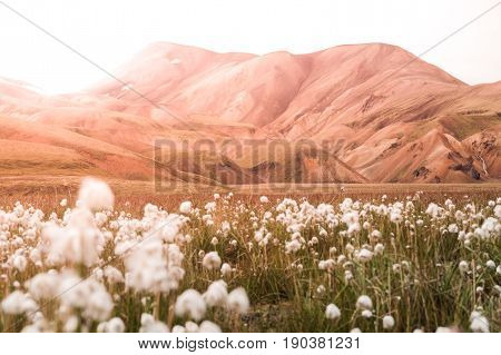 Cotton grass field in Landmannalaugar valley surrounded by rhyolite mountains of the Fjallabak Nature Reserve, Iceland.
