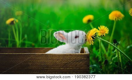A small white rabbit is sitting in a box and eating a yellow dandelion against a background of green grass in the garden. Conception: Hungry rabbit.