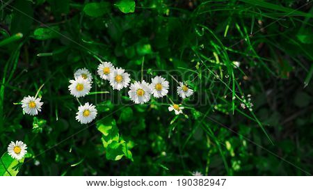 Spring marguerite daisy flowers field natural sunny background