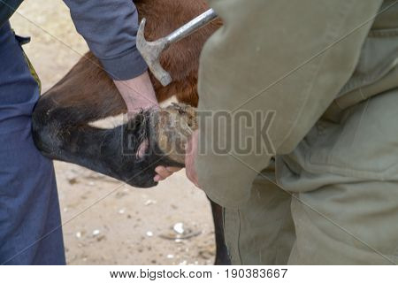 Two farriers handle hoof to set up a horseshoe