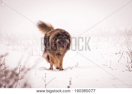 Huge shaggy Sheepdog walks on snowy pasture and keeps his sheep from intruders