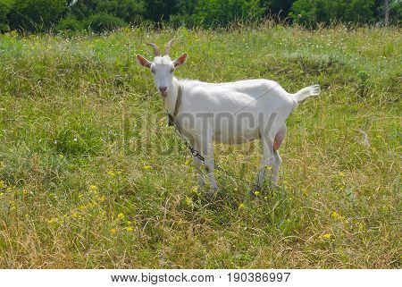A young goat female on a summer pasture in Ukraine.