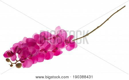 Fuchsia Phalaenopsis