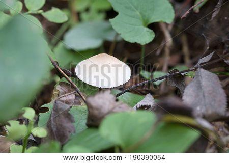 Mushroom Growing In The Grass