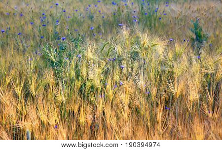 Wheat field and flowers natural background .