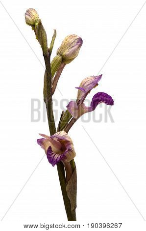 Violet Limodore Wild Orchid Flowers Profile Over White - Limodorum Abortivum