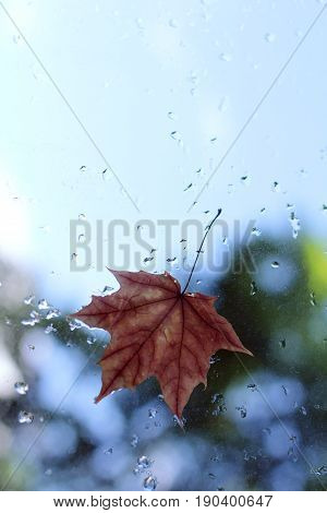 Blurry maple leaf clinging to the window after the rain / autumn arrived