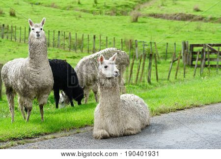 Herd of domestic Llamas being along the road in Whanganui North Island of New Zealand