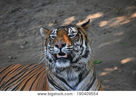 Close Up Portrait Of Sumatran Tiger Roaring